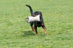 Rottweiler bieg na trawie Zdjęcia Stock