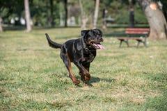 Rottweiler bieg na trawie Obraz Royalty Free