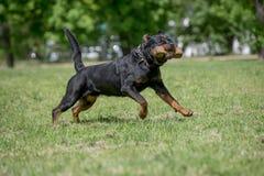 Rottweiler bieg na trawie Zdjęcia Royalty Free