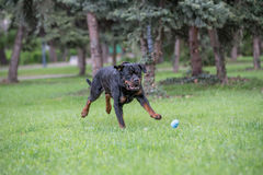 Rottweiler bieg na trawie Selekcyjna ostrość Zdjęcia Royalty Free