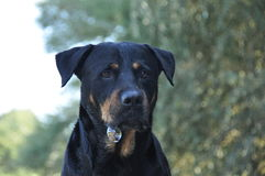Rottweiler blowing bubble Royalty Free Stock Photos