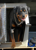 Rottweiler in a box Royalty Free Stock Photos