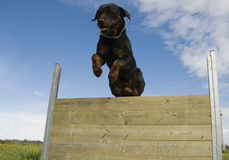 Rottweiler branchant Image libre de droits