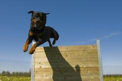 Rottweiler branchant Photo libre de droits