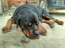 Rottweiler. Breed  dog resting in peace Stock Image