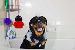 Rottweiler bubble bath. Rottweiler taking a bubble bath in a tub with bath toys royalty free stock images