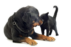 Rottweiler and cat Royalty Free Stock Images