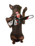 Rottweiler and chainsaw. In front of white background royalty free stock images