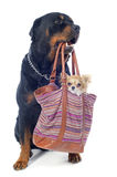 Rottweiler and chihuahua in a bag Royalty Free Stock Photos