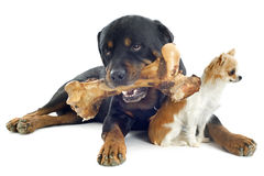 Rottweiler, chihuahua and bone Royalty Free Stock Photography