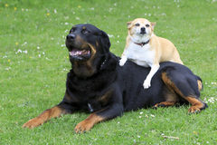 Rottweiler and Chihuahua. A Rottweiler with a Chihuahua sitting on its back on the grass Stock Photo