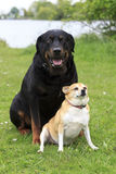 Rottweiler and Chihuahua Royalty Free Stock Photo