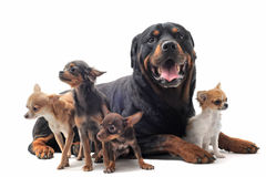 Rottweiler and chihuahuas royalty free stock photography
