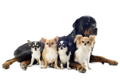 Rottweiler and chihuahuas Stock Photos