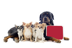 Rottweiler and chihuahuas Royalty Free Stock Photos