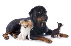 Rottweiler and chihuahuas stock images