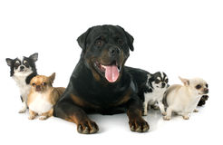 Rottweiler and chihuahuas stock image