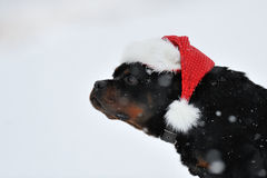 Rottweiler Christmas wishes Stock Image