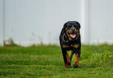 Rottweiler cieszy się lata kropidło zdjęcie stock
