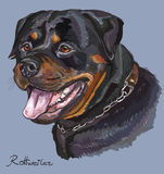 Rottweiler colorful vector hand drawing portrait. Rottweiler vector hand drawing illustration in different color on blue background Stock Image