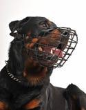Rottweiler com açaime Fotografia de Stock Royalty Free