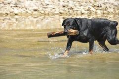 Rottweiler com vara Fotografia de Stock Royalty Free