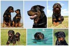 Rottweiler composito della maschera immagini stock libere da diritti