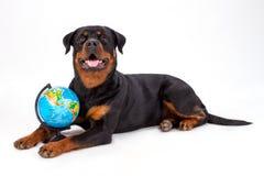 Rottweiler con il globo su fondo bianco Fotografia Stock Libera da Diritti