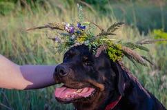 Rottweiler con una corona selvaggia del capolino del campo fotografia stock libera da diritti