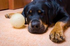 Rottweiler con una sfera Fotografia Stock Libera da Diritti