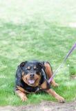 Rottweiler criado en línea pura Foto de archivo