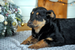 Rottweiler crossbreed puppy Royalty Free Stock Photo