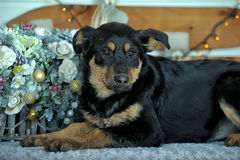 Rottweiler crossbreed puppy Royalty Free Stock Image