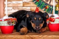Rottweiler crossbreed puppy Stock Photos