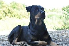 Rottweiler curioso do cão Fotos de Stock Royalty Free