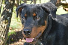 Rottweiler. A cute puppy dog sticking his tongue out for the Royalty Free Stock Photos