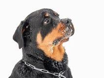Rottweiler dans la neige photos stock