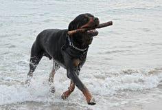 Rottweiler, das im Meer spielt Lizenzfreie Stockfotos