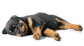 Rottweiler de chiot Image libre de droits