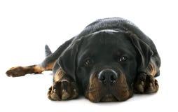 Rottweiler de chiot Photo libre de droits