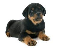Rottweiler de chiot images libres de droits