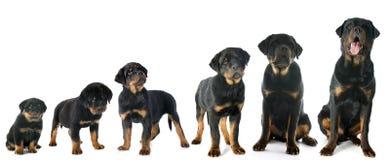 Rottweiler de chiot Photographie stock libre de droits