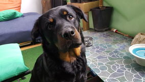 Rottweiler de Nero Photo stock