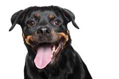 Rottweiler de race. Verticale de plan rapproché Images libres de droits
