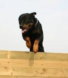 Rottweiler de salto Foto de archivo