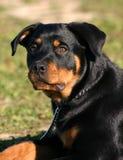Rottweiler de Youg Imagens de Stock