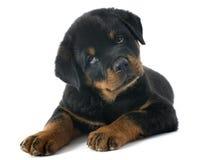 Rottweiler del perrito Imagen de archivo libre de regalías