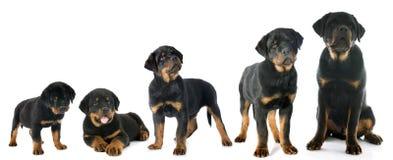 Rottweiler del perrito Fotografía de archivo libre de regalías