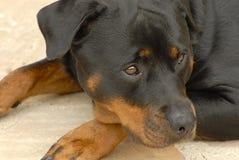 Rottweiler del perro Foto de archivo