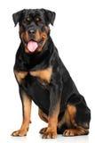 Rottweiler devant le fond blanc Photo stock